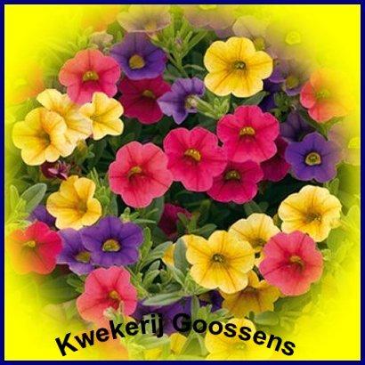 plant sundaville afbeelding